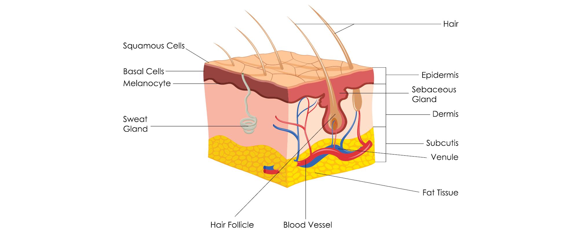 hudens olika lager